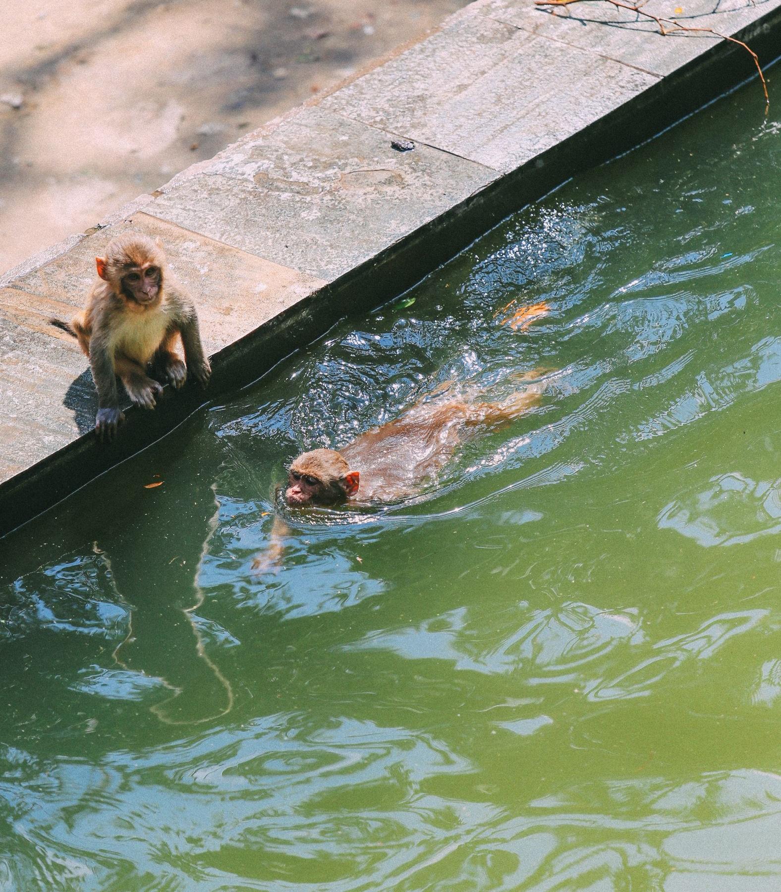 monkeys dive into water at Swoyambhunath stupa